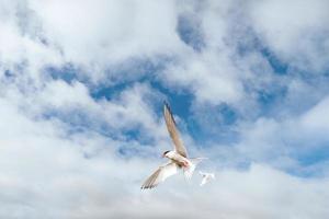 Küstenseeschwalbe auf weißem Hintergrund - blaue Wolken foto