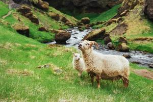 das isländische Schaf. fantastische Aussicht Wasserfall im Nationalpark foto
