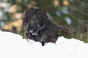 Bergschäferhund im Schnee mit Eis auf dem Fell foto