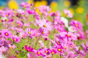 Kosmosblumen im Garten foto