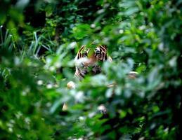 bengalischer Tiger ruht unter grünem Busch foto