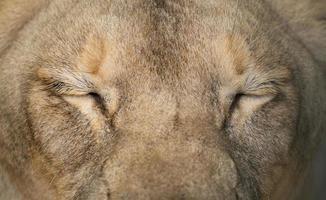 weibliche Löwenaugen hautnah foto