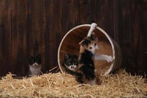 süße entzückende Kätzchen in einer Scheunenumgebung mit Heu foto