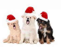 Weihnachtswelpen tragen Weihnachtsmützen und singen foto