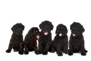 Gruppe von schwarzen russischen Terrier-Welpen foto