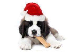 Bernhardiner Welpe mit Weihnachtsmütze foto