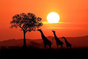 große südafrikanische giraffen bei sonnenuntergang in afrika foto