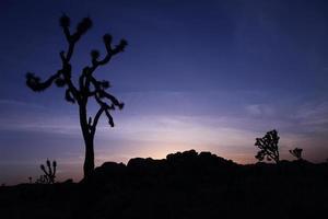Joshua Tree Silhouette bei Sonnenuntergang mit blauem Himmel foto