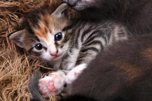 Babykätzchen, das mit Geschwistern in einem Korb liegt foto