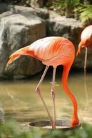 Flamingo draußen essen foto