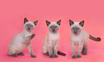 siamesische Kätzchen auf hellem buntem Hintergrund foto