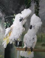 Kakadus zeigen sich foto