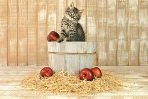 süßes posierendes Kätzchen in einem Fass Äpfel foto
