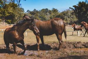 schwarzes Pferd im Schlamm der Farm. foto