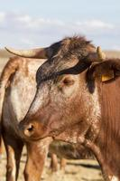 braune Kühe auf trockenem Land foto