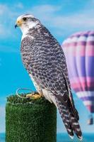 Wanderfalke Greifvogel foto