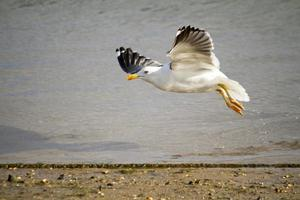 Möwenflug in Ufernähe foto
