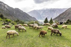 Schafe grasen auf grüner Bergwiese foto