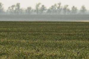 Feld mit jungem Weizen und Nebel über dem Feld foto