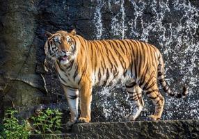 indochinesische Tiger stehen in der Atmosphäre des Waldes. foto