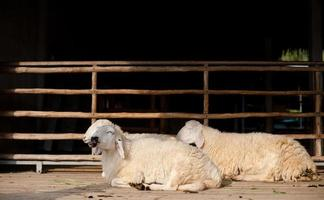 Schafe fressen Gras auf dem Bauernhof foto