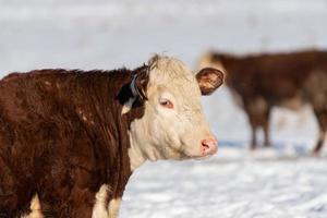 braune Kuh im Winter draußen auf einer Weide foto