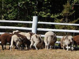 Schafe grasen auf einer Koppel auf einer Weide in einer Herde foto