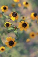 rudbeckia hirta l. toto, schwarzäugige Susan Blumen der Familie der Korbblütler foto