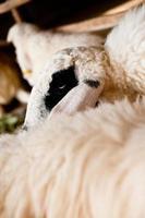 braune und weiße Schafe liegen auf dem Boden. foto