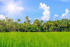 die Reisähre, die im Sommer vom Wind verschüttet wurde foto