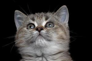 Nahaufnahme britisches Kätzchen foto