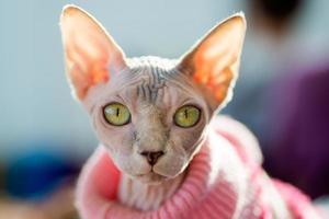 Sphynx Katze