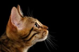 Nahaufnahme Bengal Kitty im Profil auf schwarz