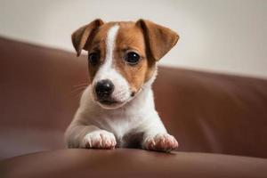Jack Rassell Terrier Welpe foto