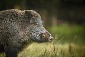 Wildschwein neugierig beobachten foto