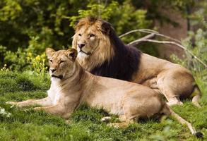 Löwen foto