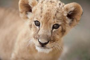 Porträt des niedlichen kleinen Löwenjungen, der Sie ansieht foto