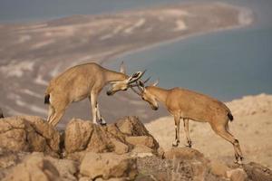 wilder Steinbock - Wüste des Toten Meeres, Israel foto