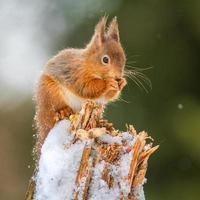 rotes Eichhörnchen, das im englischen Winter füttert