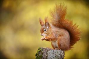 rotes Eichhörnchen in Herbstfarben