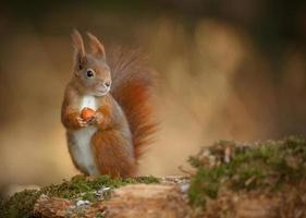 rotes Eichhörnchen, das rechts schaut