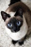 Nahaufnahme einer siamesischen Katze, die für ein Bild aufwirft foto