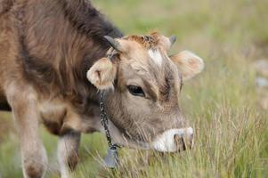 Kuh in der Natur foto