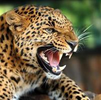 Leopardenporträt