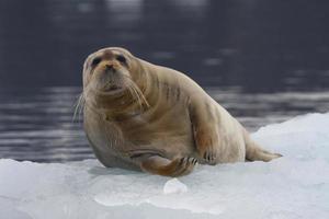 Bartrobbe, Bartrobbe (Erignathus barbatus) - Spitzbergen, Norwegen foto