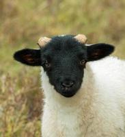 schwarzgesichtigiges Schafslamm
