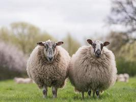 Schafe stehen auf der Wiese foto