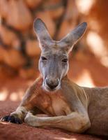Känguru foto
