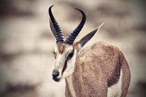 nasse Springbock-Gazelle