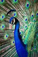 Porträt des schönen Pfaus foto